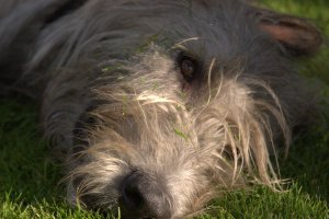 Zach the wolfhound doing what dogs do in the dog days of summer